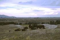 """Auf der 7600 ha grossen National Bison Range leben neben den Bisons noch viele andere Tiere und Pflanzen. Das Wildlife Reservat befindet sich etwa 1 Fahrstunde von der wunderbar gelegenen Stadt Missoula entfernt, wo """"The Horse Whisperer"""" gedreht wurde."""