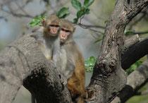 Rhesusaffen (Macaca mulatta) leben in Asien von Afghanistan über Indien (gelten dort als heilig !) bis ins südliche China in Gruppen von 10 bis 80 Tieren (Männchen, Weibchen und Jungtiere). Verwandte Weibchen bilden den matrilinearen Kern der Gruppe.