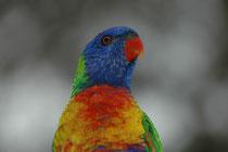 Der Allfarblori - effektiv der Gebirgslori - soll schon zwischen 1768 und 1771 durch den englischen Botaniker Sir Joseph Banks, einem Begleiter James Cooks, nach Europa gelangt sein. Im Zoo London wurde das erste Paar 1868 ausgestellt (Erstnachzucht 1873)