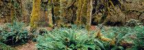 Rain Forest - Pacific Rim - Vancouver Island - British Columbia - Canada