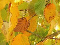 Goldenes Blattwerk / Golden leaves