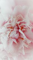 Himmlisch Rosa