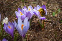Gran Sasso, fioritura di crochi