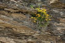 Lago di Campotosto, fioriture sugli strati di arenaria e marne