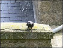 Choucas-Corvus monedula-Mont St Michel (50) 24/04/06