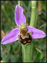 Ophrys apifera Arromanches (14) Le : 05-06-2006