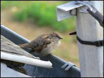 Moineau (femelle)-Passer domesticus-Vire (14) 26/04/06
