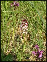 Neotinea ustulata  Lapanouse de Cernon (12) le : 20-05-2004