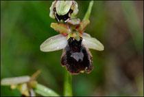 Hybrides : Ophrys drumana X Ophrys litigiosa-St Génis (26) Le 14 Mai 2010