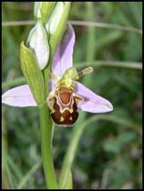 Ophrys apifera (var. aurita) Mont d'Eraines (14) le : 11-06-2006