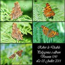 Robert le diable_Polygonia c-album_Viessoix (14) Le 03/07/2011