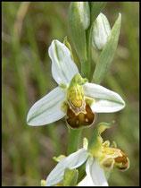 Ophrys apifera (var. flavescens) Mont d'Eraines (14) Le : 11-06-2006