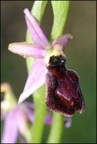 Ophrys catalaunica St Louis et Parahou (11) Le : 19-05-2009