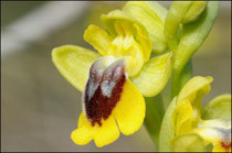 Ophrys lutea Rivesaltes (66) Le 21/04/2010