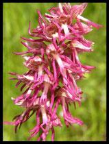 Hybrides Orchis simia X Orchis anthopophora la Borie Nobles (34) Le : 16-05-2005