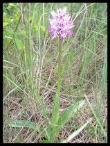 Orchis simia la Borie Nobles (34) Le : 16-05-2005