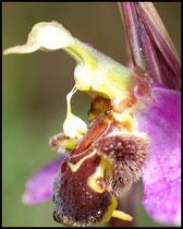 Ophrys apifera Monts d'Eraines (14) Le : 08-06-2008