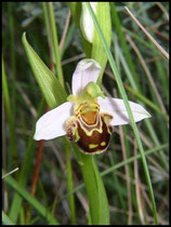 Ophrys apifera Grabels (34) Le : 25-05-2005