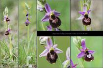 Ophrys drumana X Ophrys pseudoscolopax St Génis (26) le 07 Mai 2015