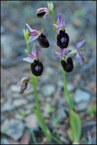 Ophrys magniflora Treilles (11) Le : 16-05-2009