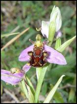 Ophrys apifera Mont d'Eraines (14) Le : 11-06-2006