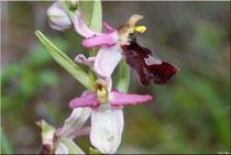 Ophrys Drumana Beaufort-Gigors (26) le 12 Mai 2010