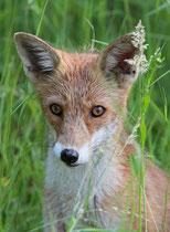 Neugierig schaut der Fuchs in meine Richtung