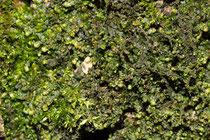 Breite Wassersackmoos (Frullania dilatata)