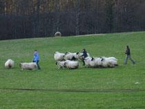 Immer wieder büchsen die Schafe aus - gar nicht so einfach