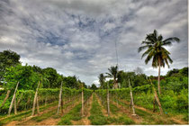 Phnam Banan Winery near Battambong