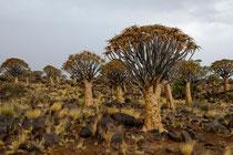 Namibia Köcherbaumwald