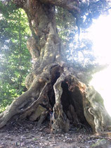 帰り道立ち寄った子安神社にある大木