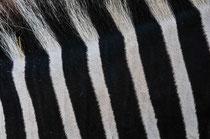 Zebra (Zirkus Knie) - Bern   2009