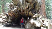 """Un séquoia mort, couché, sert de passage. Il est appelé """"Tunnel"""""""