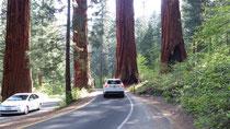 Ici, la route du parc a été divisée en deux pour passer entre 4 très beaux séquoias