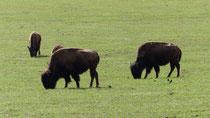 Le bison est l'emblème du Zion National Park