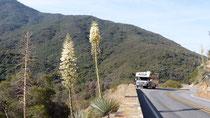 Partout des aloès en fleurs sur la route qui monte dans la Sierra Nevada