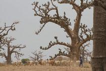 Sénégal baobab aux alentours de Saly