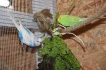 Stitch und Lilo knabbern am Kräuterstrass