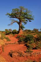 Baobab (Affenbrotbaum), Foto Bert Harzer
