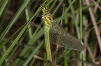 Schwarze Heidelibelle, Sympetrum danae, Weibchen beim Schlupf (3)
