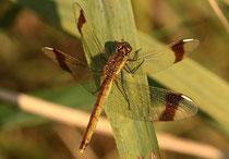 Gebänderte Heidelibelle, Sympetrum pedemontanum, erwachsenes Weibchen.