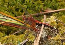 Gefleckte Heidelibelle, Sympetrum flaveolum, adultes Männchen in der Seitenansicht (1).