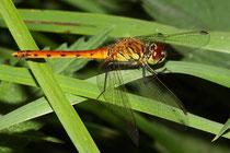 Sumpf-Heidelibelle, Sympetrum depressiusculum, junges Männchen, Seitenansicht.