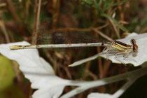 Weiße Federlibelle, Platycnemis latipes, erwachsenes Weibchen (1).
