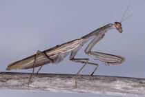 Eine Gottesanbeterin (Mantis religiosa) in der braunen Variante. Sie ist auf dürrem Laub oder Zweigen so gut wie nicht zu erkennen.