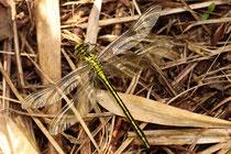 Westliche Keiljungfer, Gomphus pulchellus, junges Weibchen.