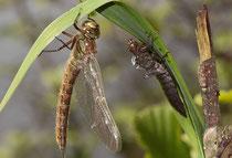 Früher Schilfjäger, Brachytron pratense, Weibchen beim Schlupf.