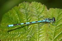 Speer - Azurjungfer, Coenagrion hastulatum, erwachsenes Männchen (3).