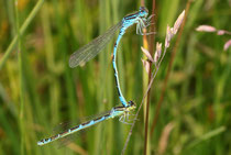 Gabel - Azurjungfer, Coenagrion scitulum, Tandemformation.